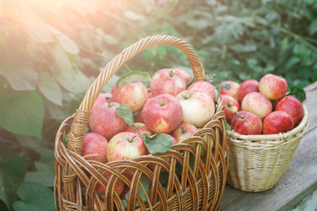 Wicker baskets full of red and yellow ripe autumn apples on wooden table. Seasonal fruit gathering, fall harvest in apple garden, agriculture and farming concept, copy space