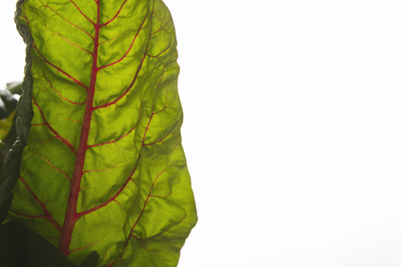 Fresh leaf of chard or mangold isolated on white background, copy space