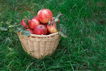 Wicker basket full of red and yellow ripe autumn apples on green grass background. Seasonal fruit gathering, fall harvest in apple garden, agriculture and farming concept, copy space