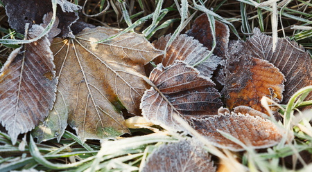 Frosty colourfull autumn leaves on green grass on cold morning Stock Photo