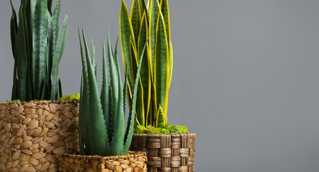 Snake plants and aloe vera in diy pots on grey background Banque d'images