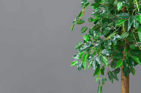 Big ficus tree over grey background, free space, closeup