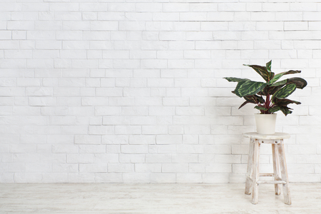 Houseplant Maranta on chair over white brick wall, empty space