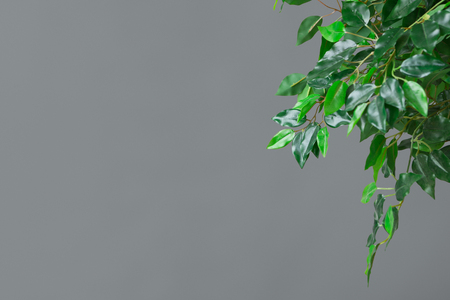 Green ficus tree leaves over grey background with free space, closeup Stock Photo