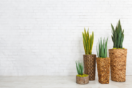Aloe vera succulents and snake plants in pots over white brick wall, empty space Imagens
