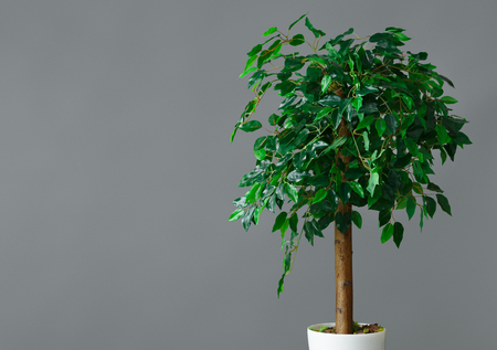 Flower pot with ficus tree standing at grey background. House plants store concept