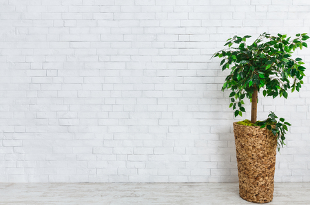 Flower pot with ficus tree standing on floor at white brick wall background.