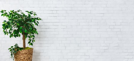 Ficus tree in pot standing at white brick wall background. Home gardening concept, panorama