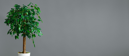 Flower pot with ficus tree standing at grey background, panorama, copy space