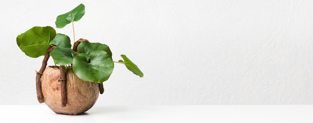 Decorative green plant in unusual pot on light background with free space