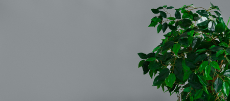 Ficus tree krone at grey background. Botanical life style concept, copy space