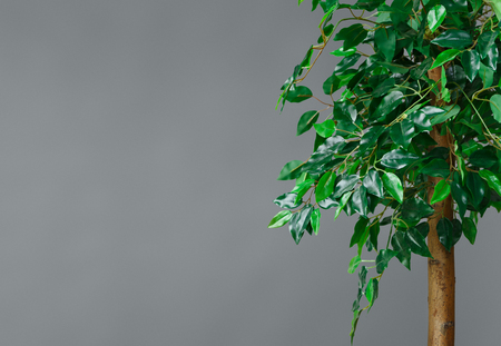 Ficus tree at grey wall background. Plants in interior concept, copy space