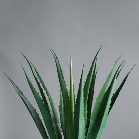 Agave leaves at grey background. Green life concept, copy space