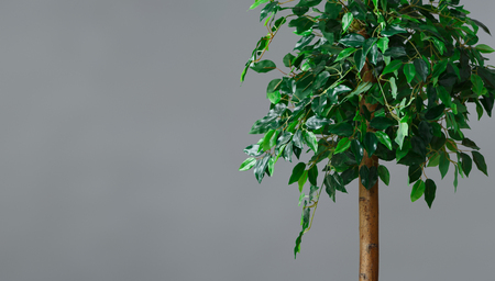 Ficus tree at grey wall background. Greenery in interior concept, copy space