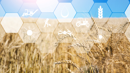 Smart farming, iot and agritech. Digital sensor icons for management, control and monitoring agriculture on wheat field background, empty space Stock Photo
