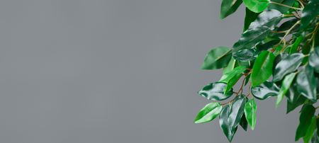 Ficus tree leaves at grey background., copy space. Botanical life concept