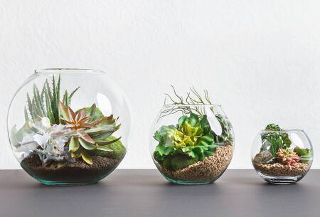 Plantas suculentas en tres jarrones florarium sobre pared gris, espacio de copia