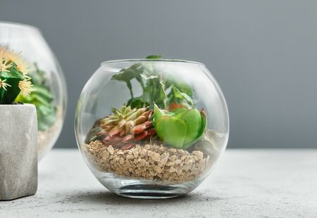 Small garden with succulent plants in glass florarium over grey wall, copy space. Home garden in vase concept Reklamní fotografie