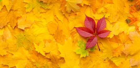 Autumn background with yellow maple leaves and one red, panorama