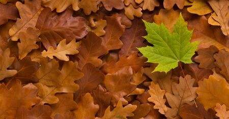 Young green maple leaf among old fallen autumn brown background, panorama 版權商用圖片