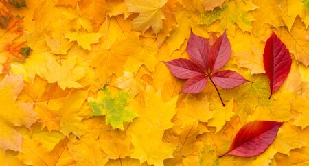 Be different. Bright red maple leaves on yellow autumn background, panorama Stockfoto