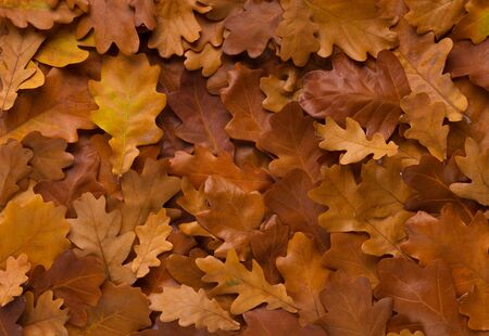 Autumn background of fallen oak leaves evenly covered ground before first winter frost