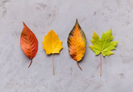 Bright and creative composition of different colorful autumn fallen leaves on grey