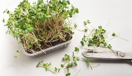 Microgreens nutrition. Cut seedling for healthy eating on white background with scissors, panorama