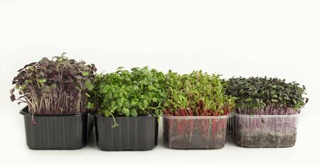 Different Sprouted seeds in pots isolated on white background, panorama Imagens