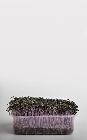 Microgreens creative. Red seedling in wet soil inside plastic box on white background, vertical panorama, copy space