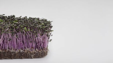 Microgreens concept. Purple Sprouted seeds isolated on white background, panorama, copy space
