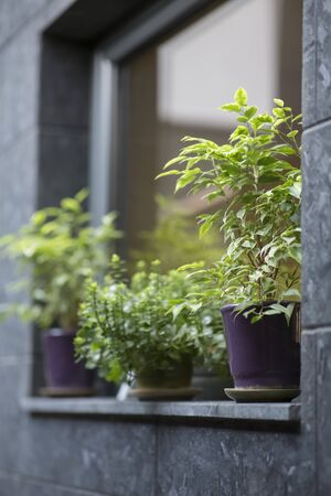 Cafe facade decoration with evergreen plants in pots on windowsill, vertical panorama