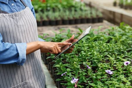 Smart controls in modern flower greenhouse. African american woman in apron with digital tablet in hands, cropped Stockfoto