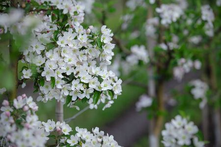 Apple trees in bloom, close up. Thick white blossoms and green leaves, flowers pollinated by bee Banco de Imagens