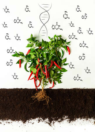 Genetically modified products concept. Chili pepper bush growing in soil, chemical molecules and DNA helix on white background. Collage