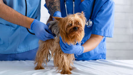 Veterinary doctor with assistant listening to dogs heartbeat with stethoscope at animal hospital, closeup. Panorama