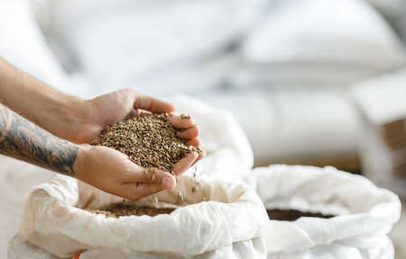 Natural ingredients for brewing best craft beer in modern plant. Millennial brewer with tattoos holds wheat or barley grains in his hands over white bag, side view, cropped, free space