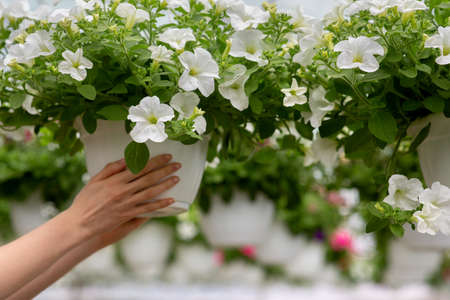 Gardener work in modern smart greenhouse, growing and caring for plants and flowers for business Stock Photo