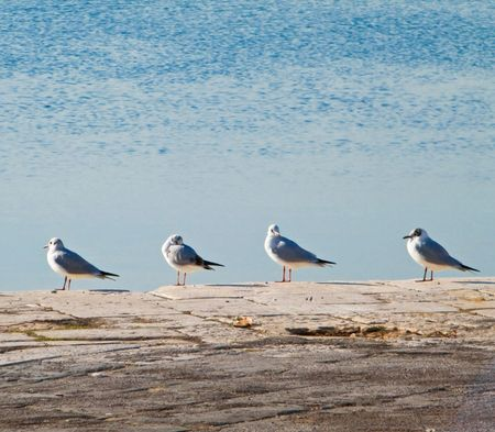 lined up: Birds: These are black-headed gulls lined up on the dock. Stock Photo