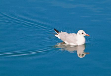 Animal: This is a seagull swimming on sea. photo