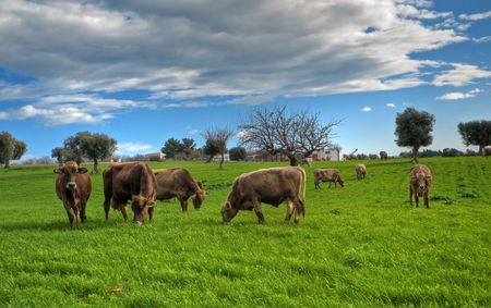 Cows grazing in apulian countryside. photo