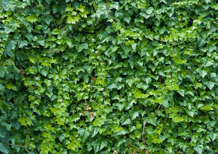 covered: Climbing ivy background.