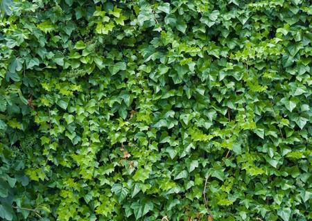 Klettern Ivy Hintergrund. Standard-Bild