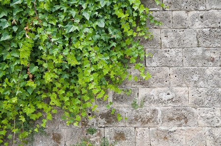 rambler: Climbing ivy on brickwall. Stock Photo