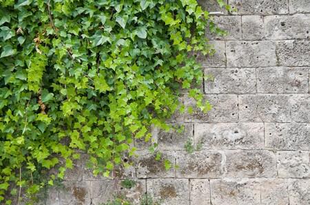 climbing plant: Climbing ivy on brickwall. Stock Photo