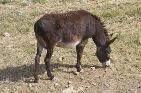 muggy: Donkey grazing. Stock Photo