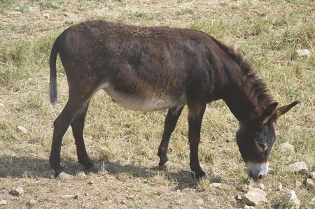 Donkey grazing. Stock Photo - 7178282