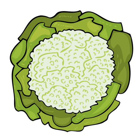 Fresh cabbage with a lot of leaves.  Vector