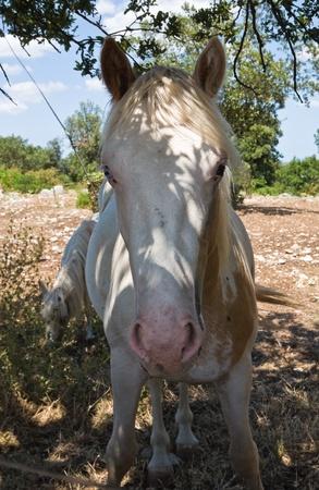 piebald: Portrait of a piebald mare.