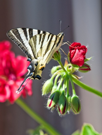 Butterfly on a red flower. photo
